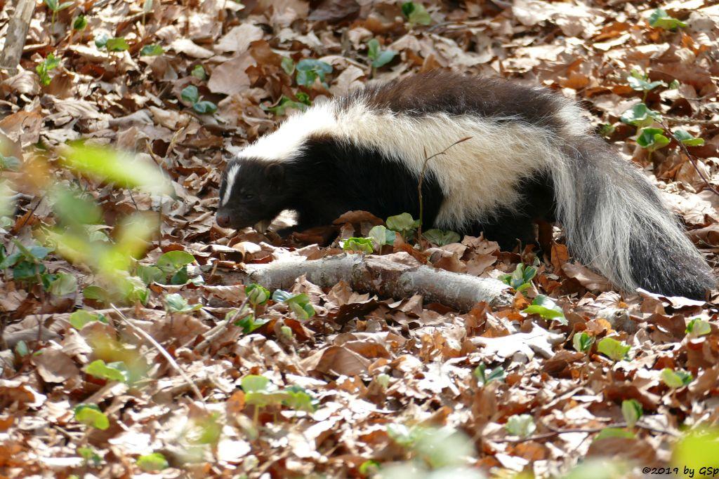 Streifenskunk (Streifen-Stinktier)