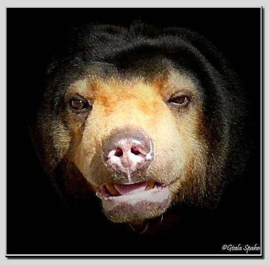 Malaienbär LOTYNKA