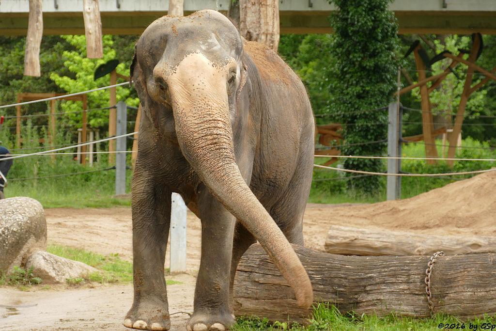 Asiatischer Elefant RANI