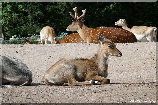 Vietnam-Sikahirsch u. Nilgauantilope