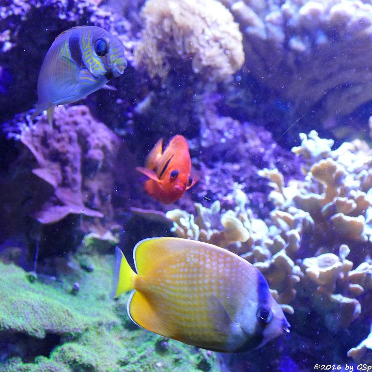 Blaustreifen-Kaninchenfisch, Flammenzwergkaiser, Braungelber Falterfisch (Weißpunkt-Falterfisch, Kleins Falterfisch)