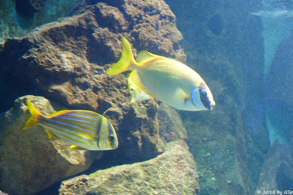 Schweiensgrunzer, Masken-Kaninchenfisch
