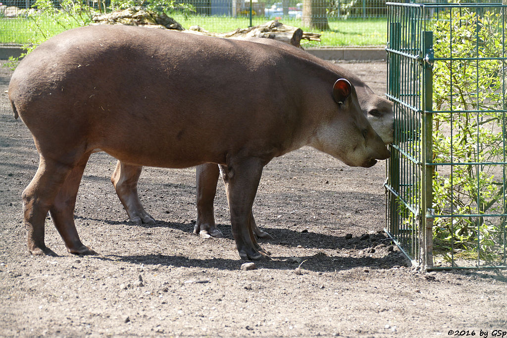 Flachlandtapir