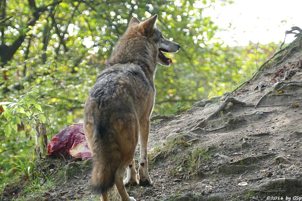 Mongolischer Wolf (Tibetischer Wolf)