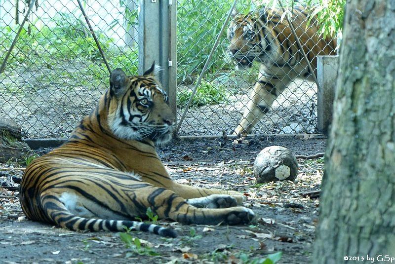 Sumatratiger MALEA und IBAN am 13.09.13
