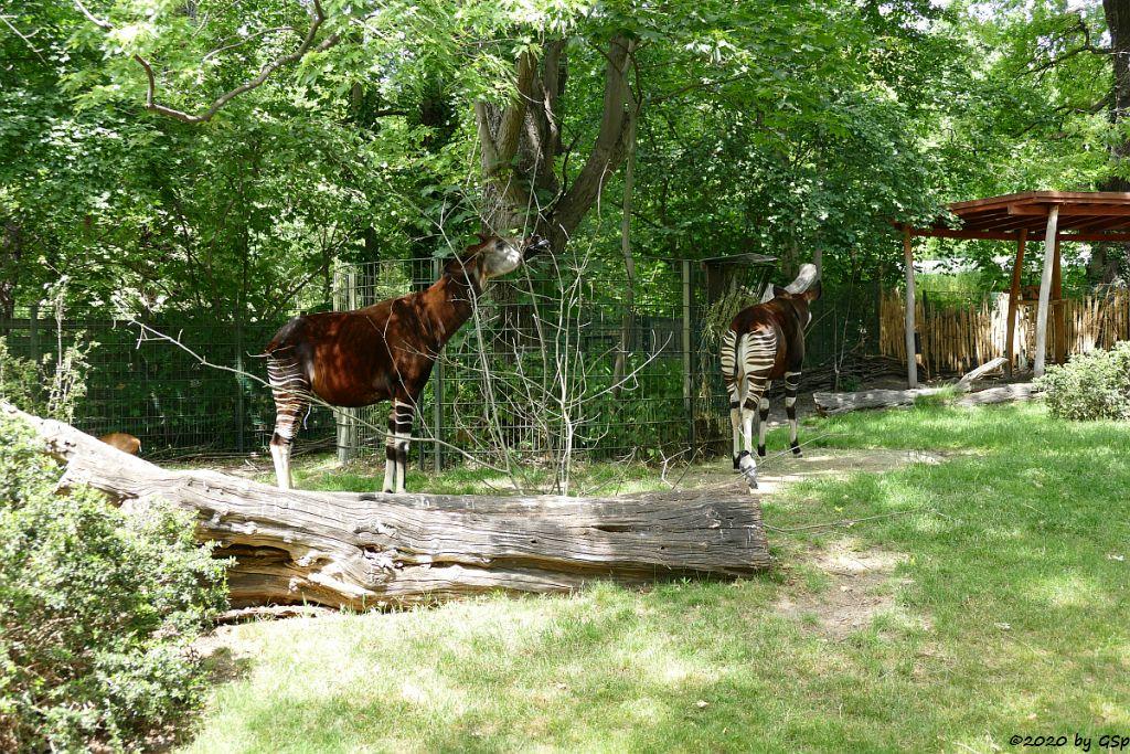 Okapi (Kurzhalsgiraffe, Waldgiraffe)