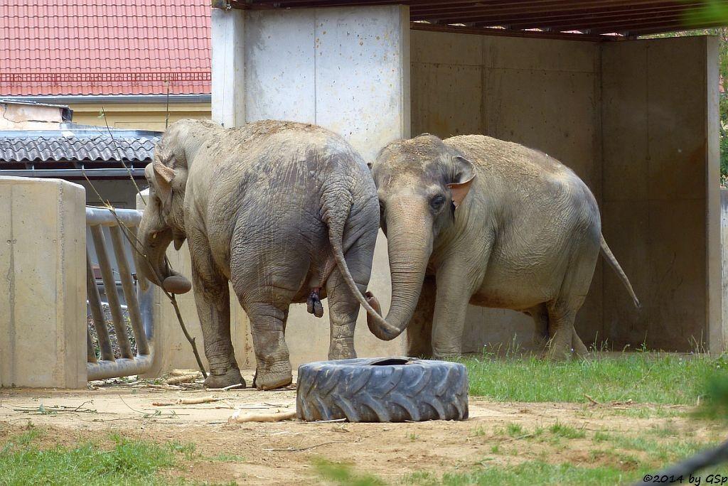 Asiatischer Elefant BURMA und TARGA