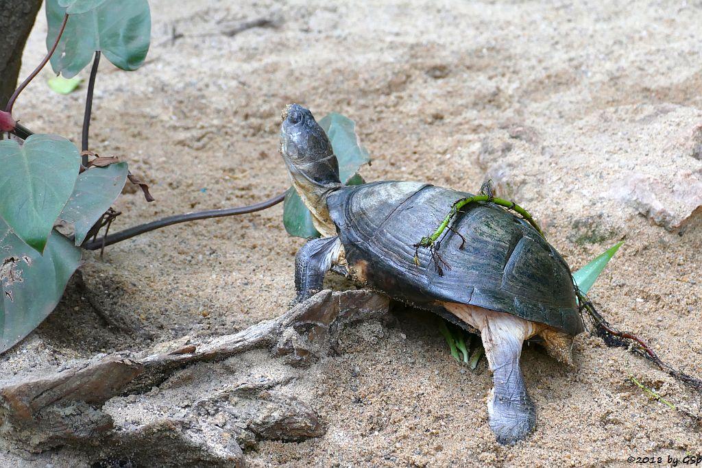 Westafrikanische (Braune) Klappbrust-Pelomedusenschildkröte