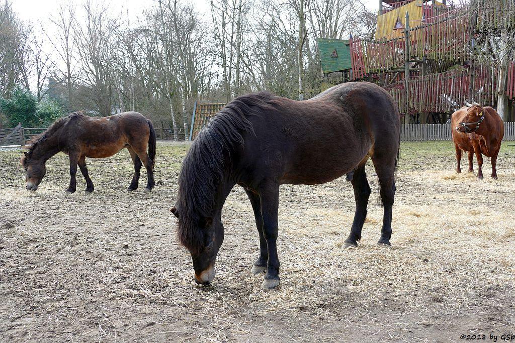 Exmoor-Pony