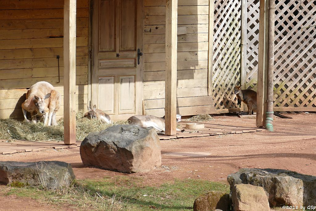 Rotes Riesenkänguru, Sumpfwallaby (Schwarzschwanzkänguru)