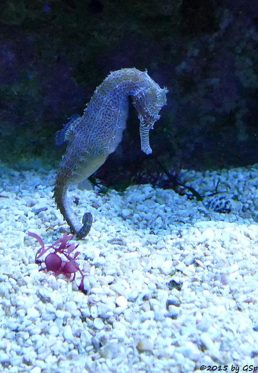 Zebraschnauzen-Seepferdchen