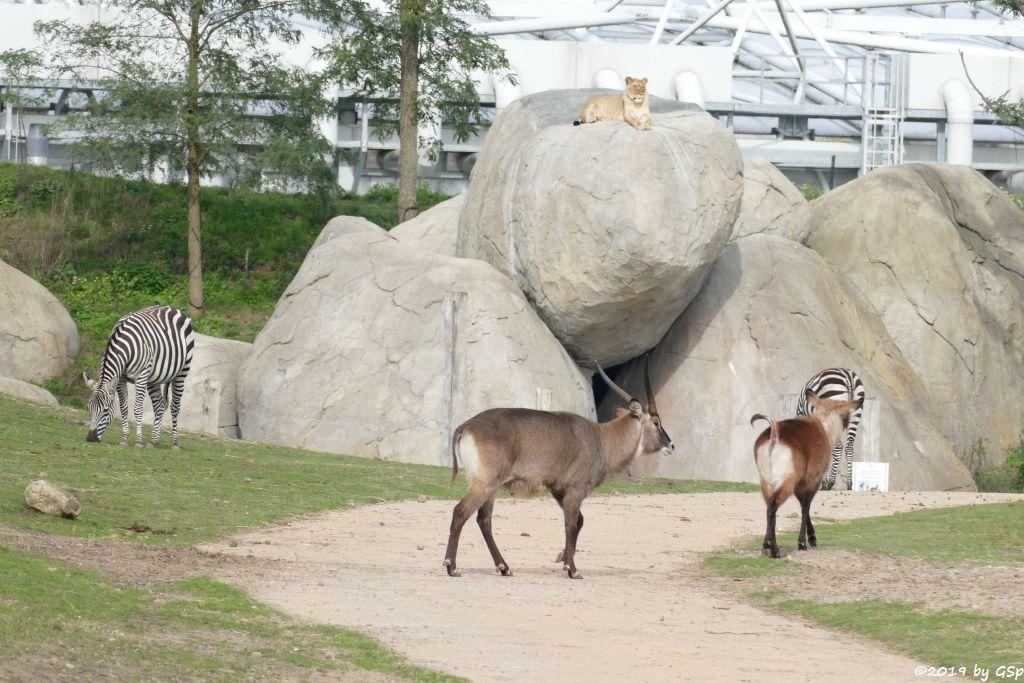 Gewöhnliche Impala (Schwarzfersenantilope, Defassa-Wasserbock (Roter Wasserbock), Südliches Streifengnu (Blaues Gnu)