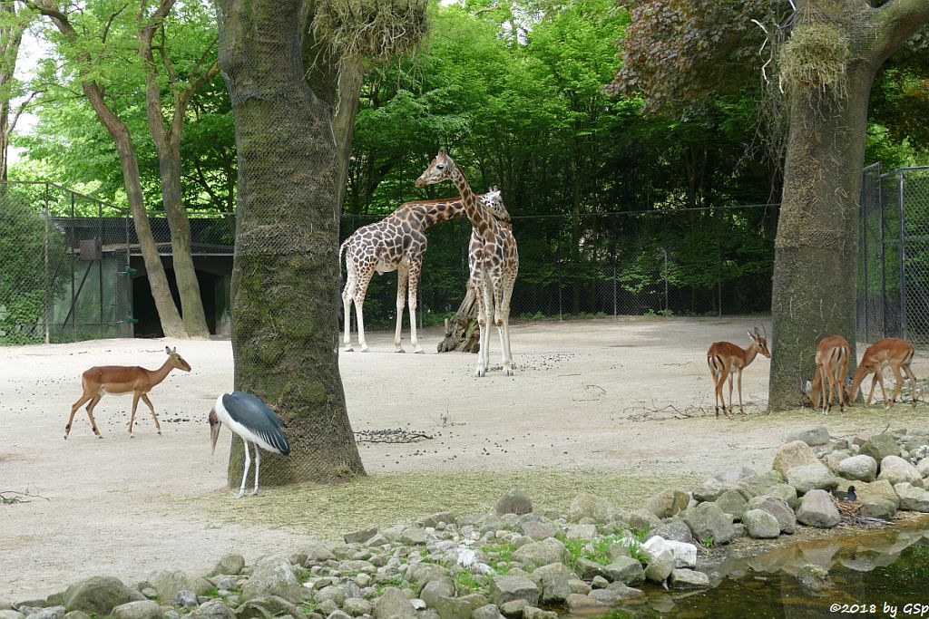 Gewöhnliche Impala (Schwarzfersenantilope, Afrikanischer Marabu, Rothschildgiraffe (Uganda-Giraffe, Baringo-Giraffe)