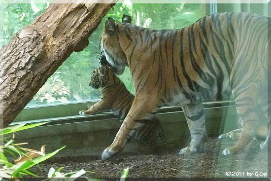 Sumatra-Tigerin MALEA mit ihrem Sohn ASIM, am 07.07.11