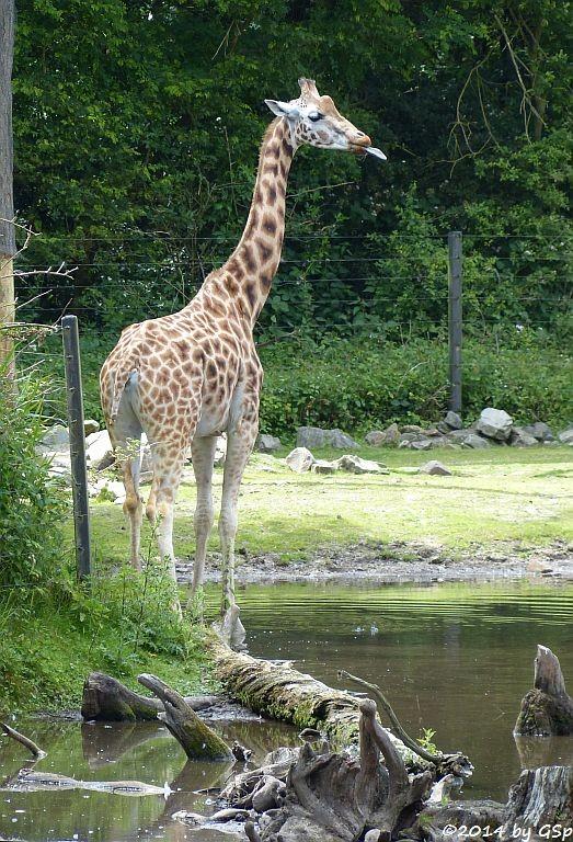 Rothschild-Giraffe