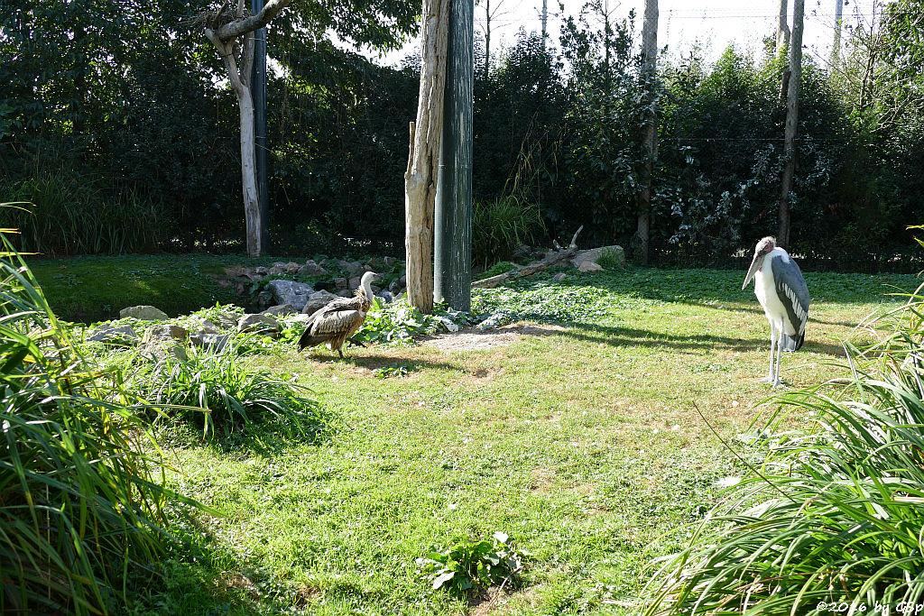 Weißrückengeier (Zwerggänsegeier), Marabu