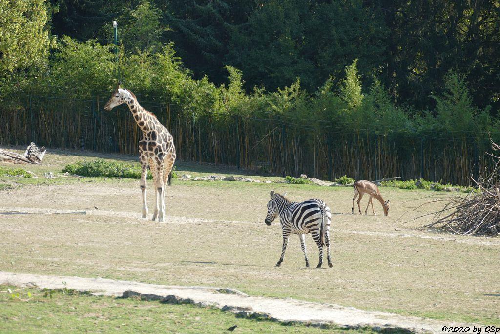 Rothschildgiraffe (Uganda-Giraffe, Baringo-Giraffe), Böhm-Steppenzebra (Granz-Zebra), Impala (Schwarzfersenantilope)