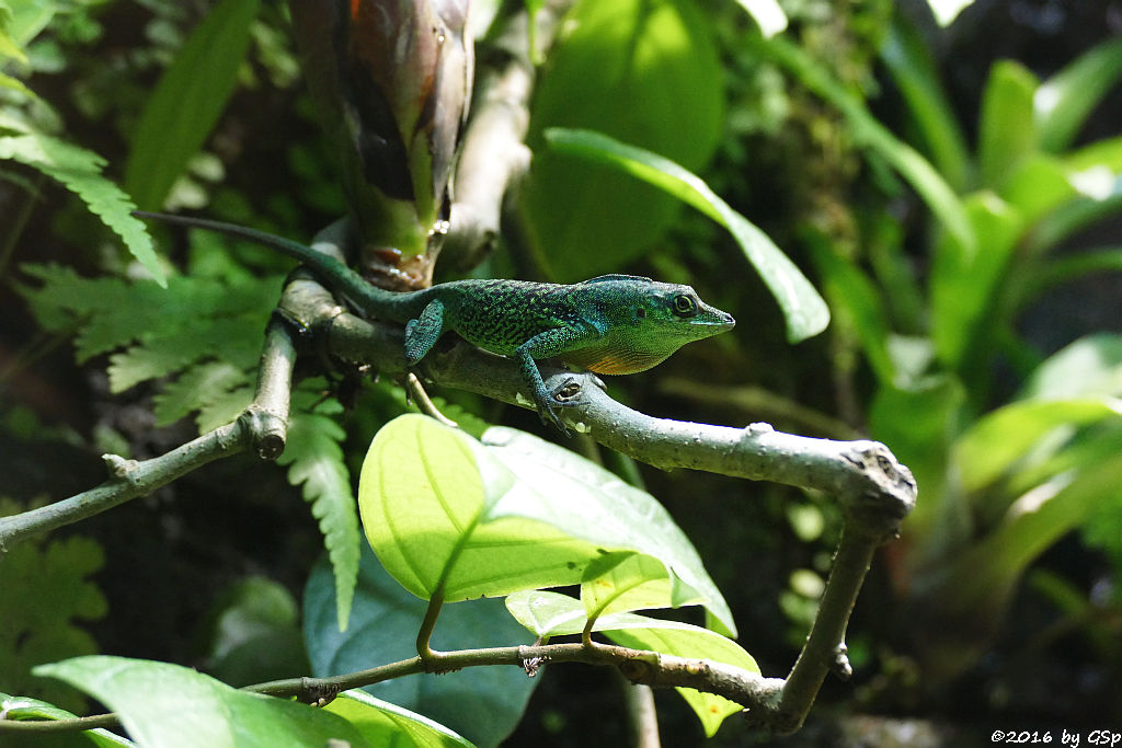 Gefleckter Martinique-Anolis
