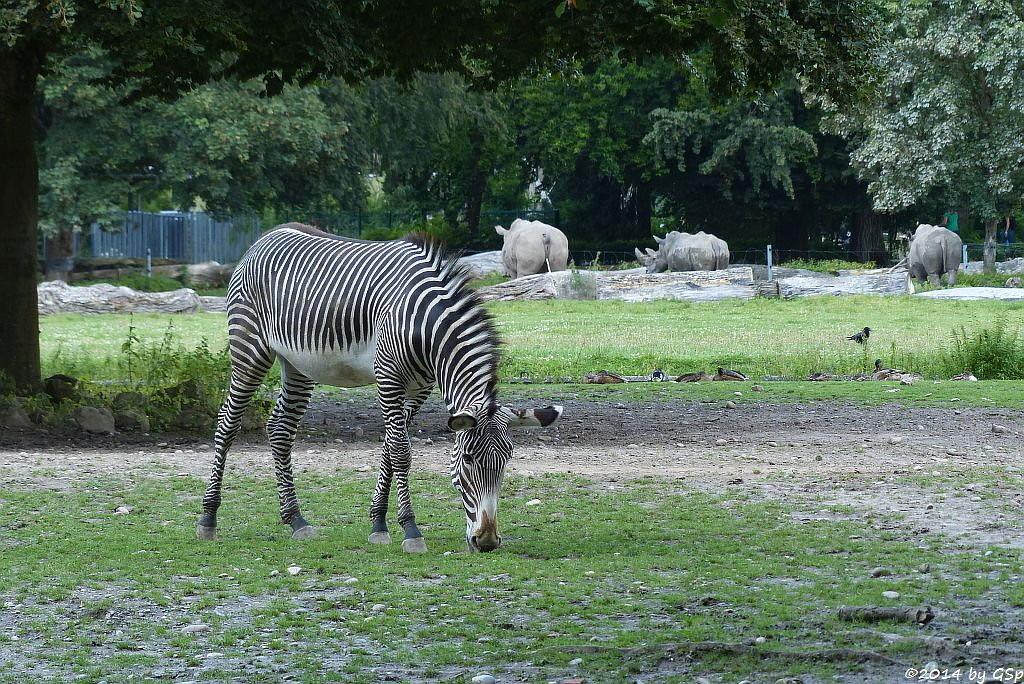 Grévy-Zebra, Breitmaulnashorn