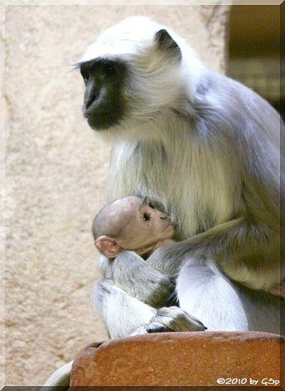 Hulman (Hanuman-Langur) LISA mit ihrer 5 Wochen alten Tochter (geb.12.3.10)