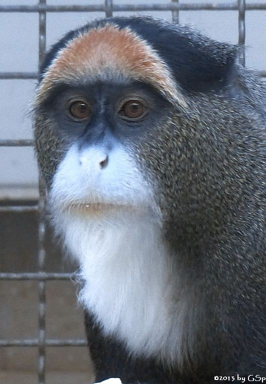 Brazza-Meerkatze