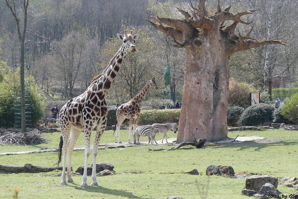 Rothschildgiraffe (Uganda-Giraffe, Baringo-Giraffe), Böhm-Steppenzebra (Grant-Zebra)