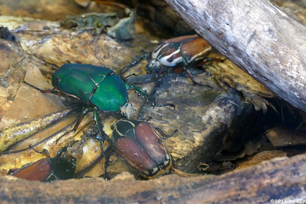 Rosenkäfer (Mecynorhina torquata ugandensis)