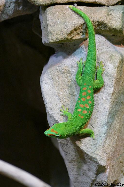 Madagaskar-Taggecko