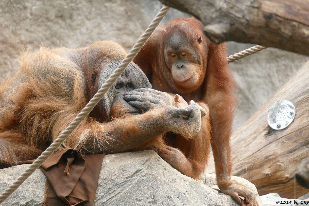 Sumatra-Orang-Utan TUAN und BATAK