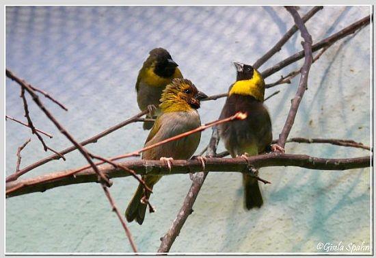 Kleine Kubafinken