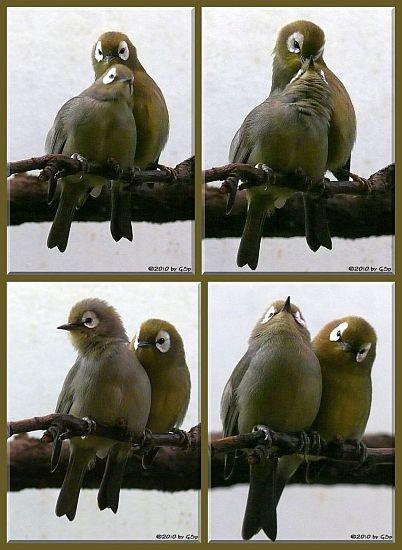 Kikuyu-Brillenvogel