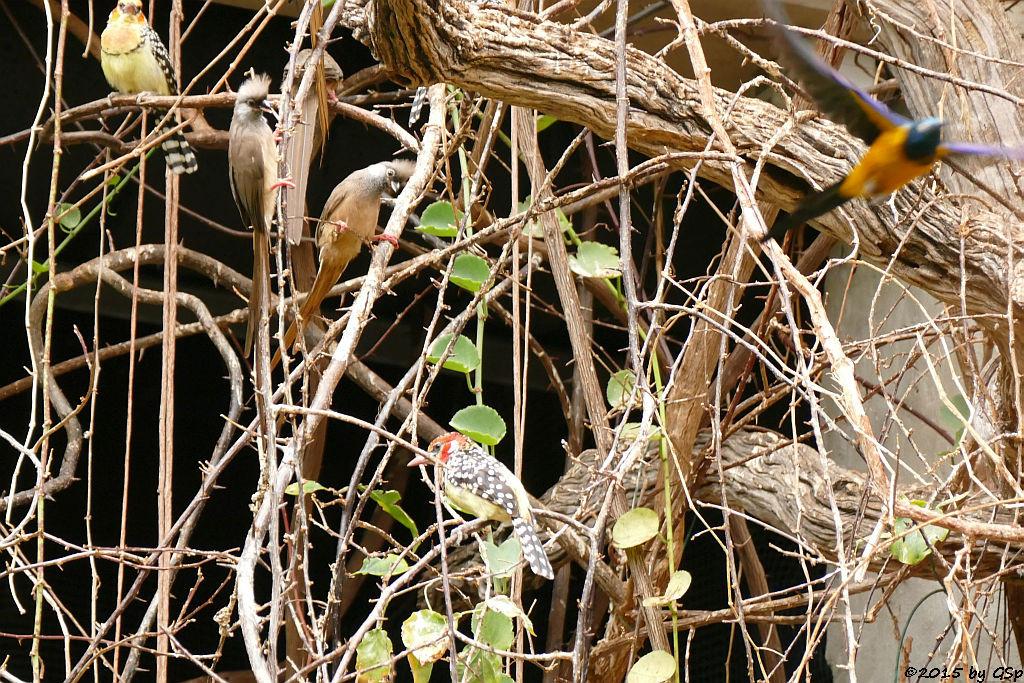 Gestreifter (Braunflügel-) Mausvogel, Flammenkopfbartvogel, Königsglanzstar