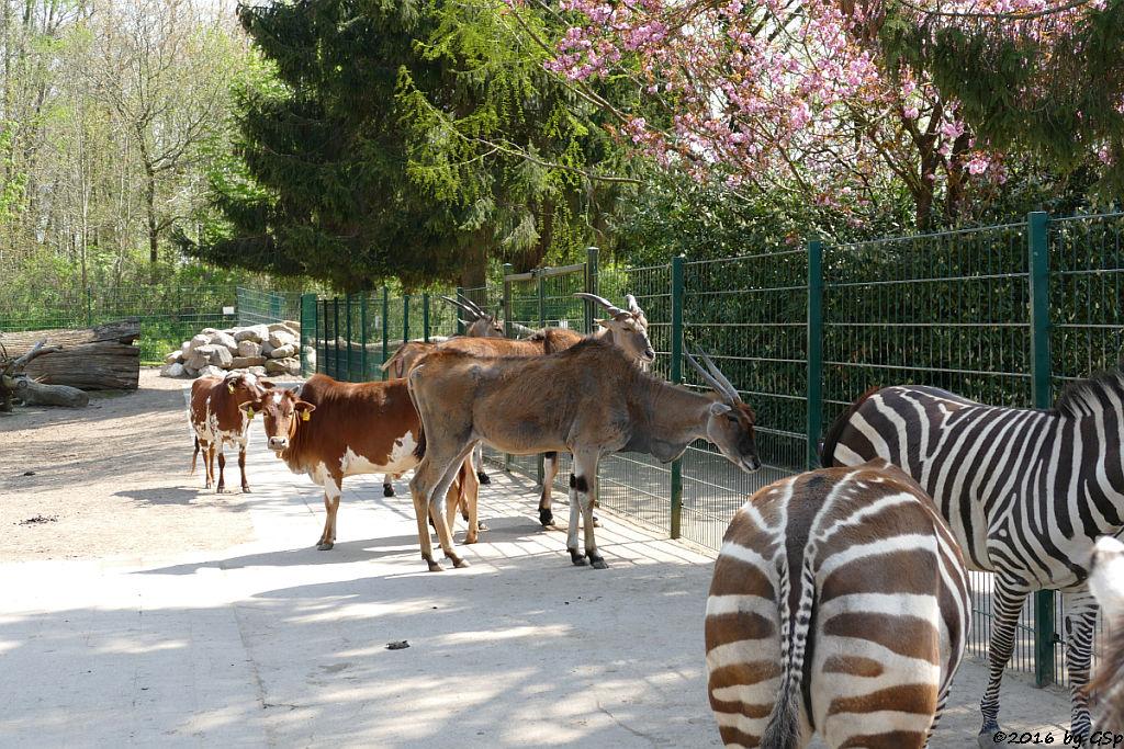 Zwerg-Zebu, Elen-Antilope, Böhm-Zebra