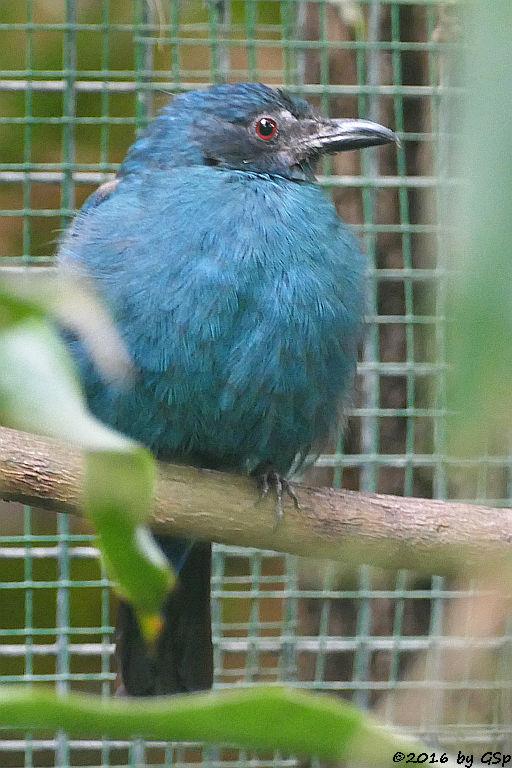 Elfenblauvogel (Türkisfeenvogel, Türkis-Irene)