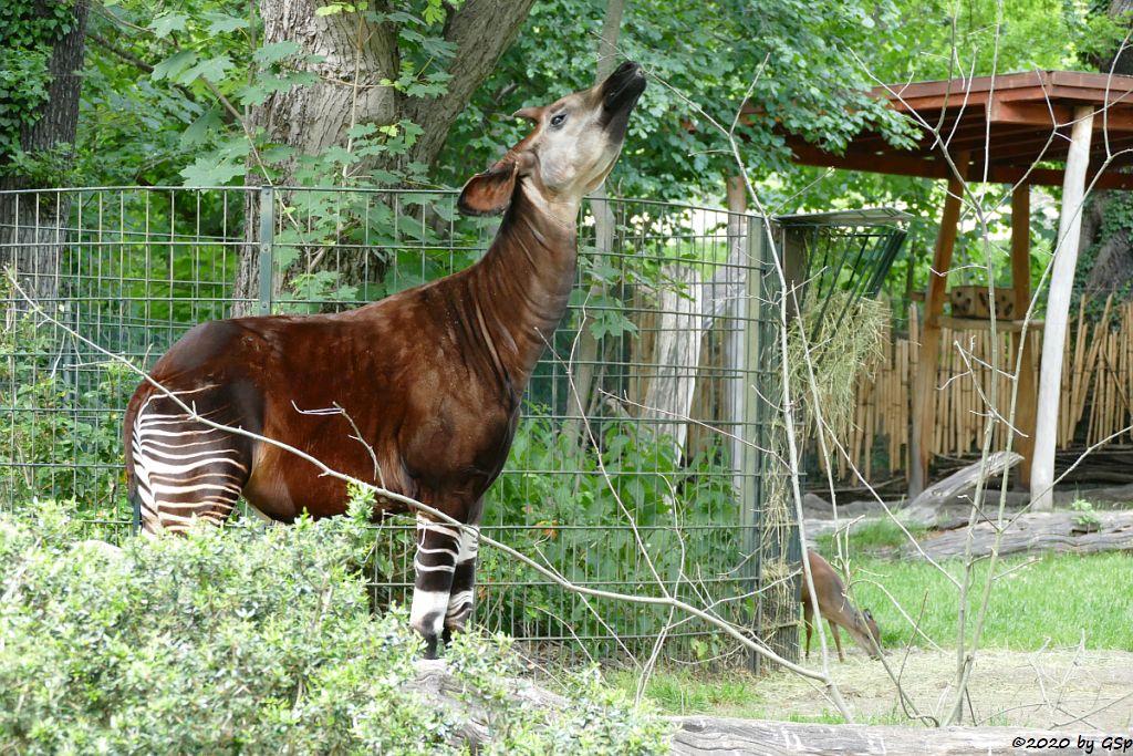 Okapi (Kurzhalsgiraffe, Waldgiraffe), Rotducker