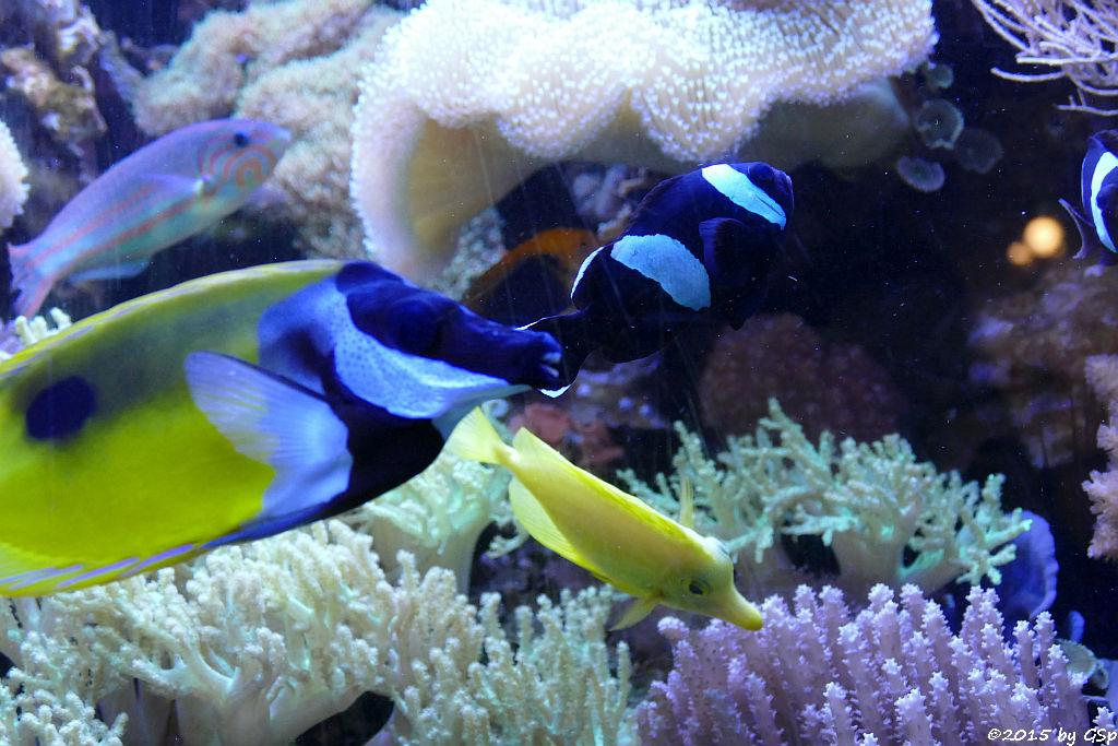 Regenbogen-Lippfisch, Einfleckiges Fuchsgesicht, Sattelfleck-Anemonenfisch, Zitronenflossn-Doktorfisch)