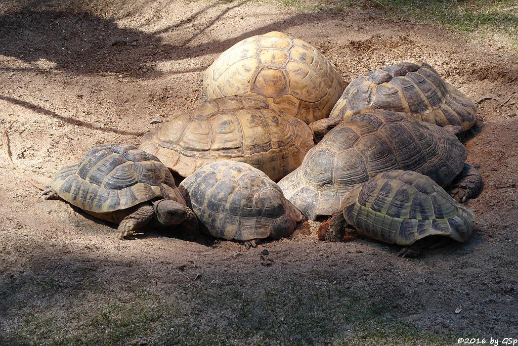 Vierzehen-Landschildkröte, Griech. Landschildkröte; Breitrandschildkröte, Maurische Landschildkröte