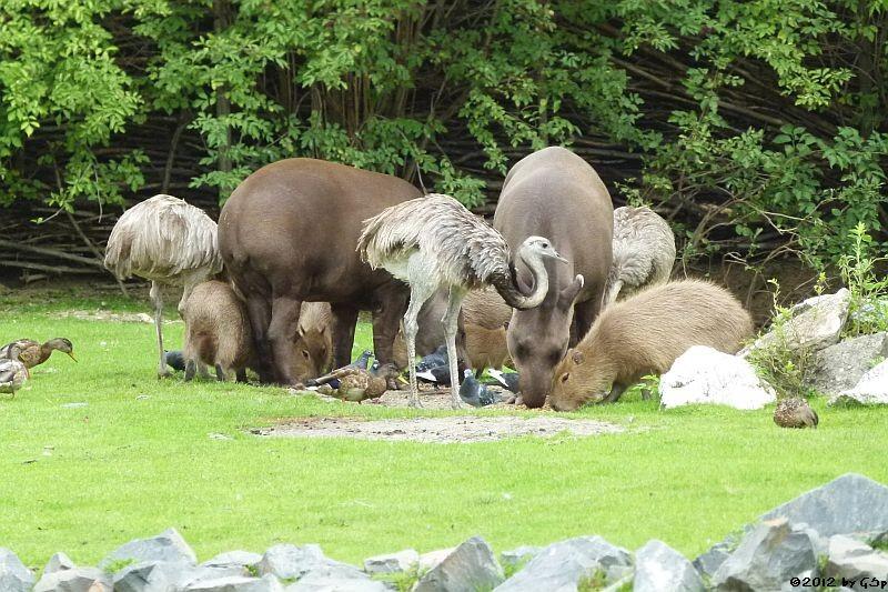 Nandu, Capybara, Flachlandtapir