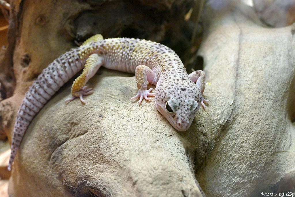 Leopardgecko (Panthergecko)