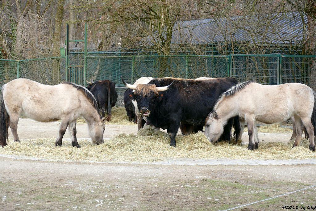Waldtarpan ((Rückzüchtung) Heckpferd, Tarpanfarbiges Hauspferd)), Heckrind (Rückgezüchteter Auerochse)