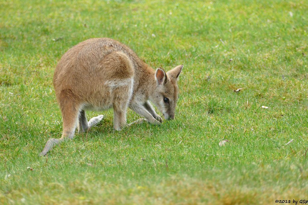 Neuguinea-Flinkwallaby