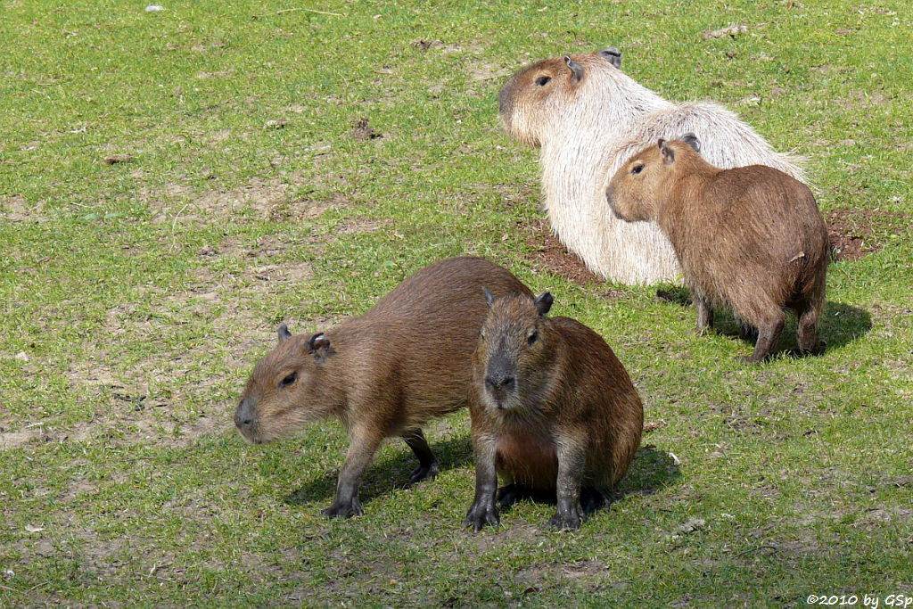 Capybara mit 4 Monate altem Jungtier
