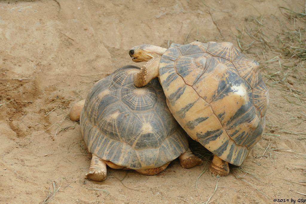 Strahlenschildkröte