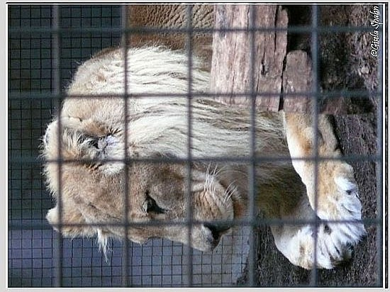 Berber-Löwe