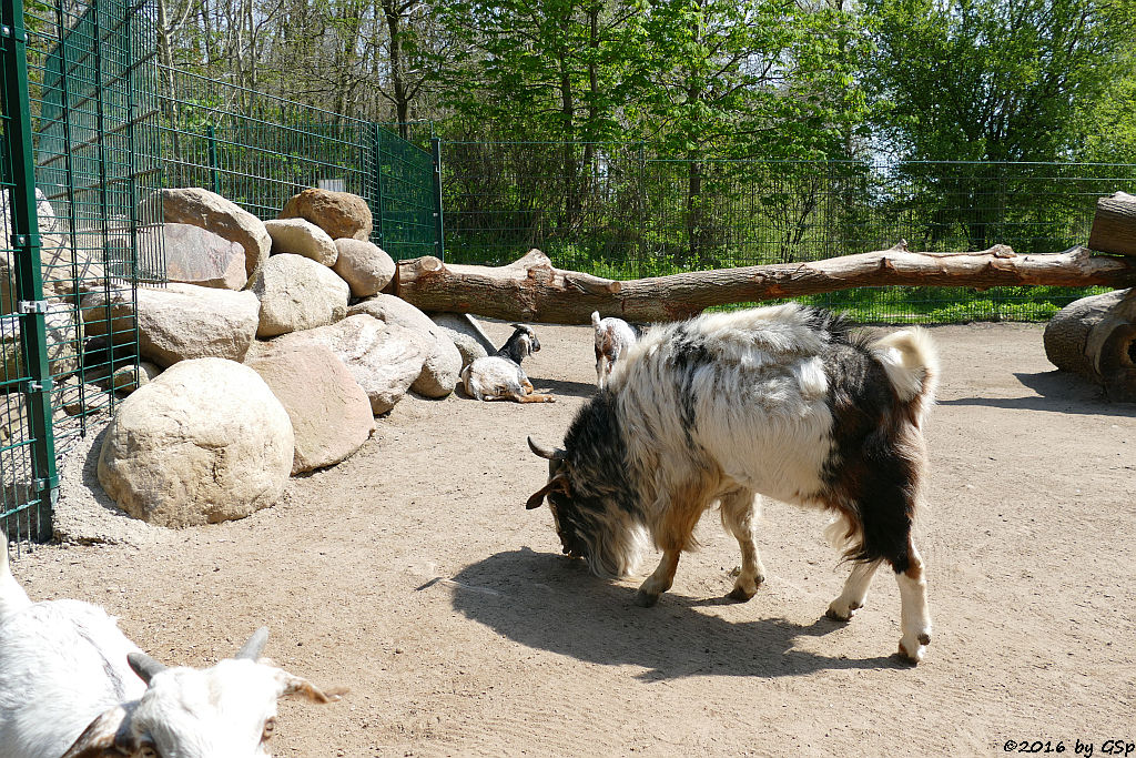 Damara-Ziege (Hängeohrziege)
