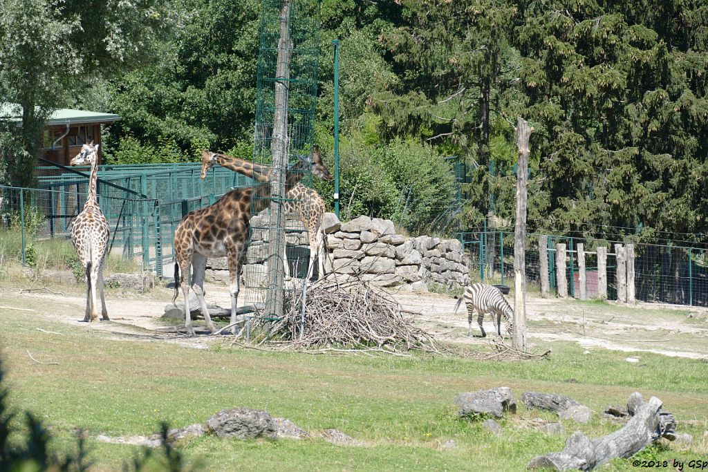Rothschildgiraffe (Uganda-Giraffe, Baringo-Giraffe), Böhm-Steppenzebra (Grantzebra)