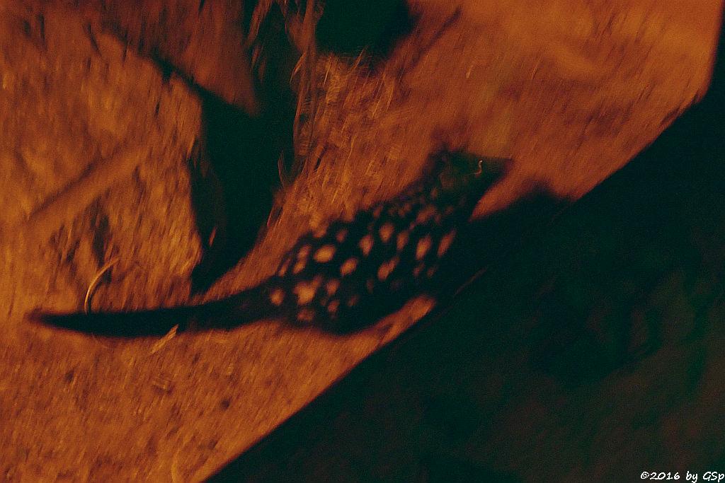Tüpfelbeutelmarder (Östlicher Beutelmarder, Ostquoll)