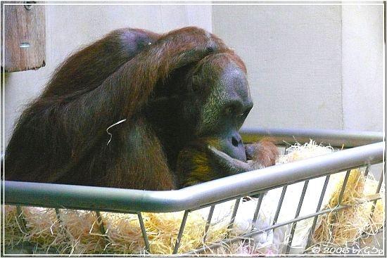 Sumatra-Orang-Utan UJAN