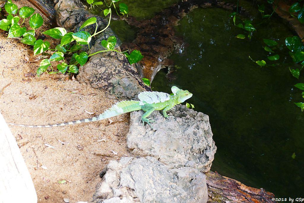 Stirnlappenbasilisk (Federbuschbasilisk), Australisches Süßwasserkrokodil (Johnstonkrokodil)