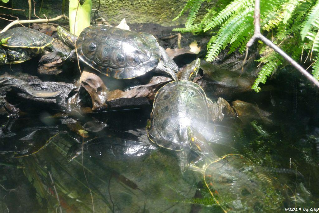 Nikaragua-Schmuckschildkröte